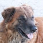 Bear ASI Sentry Dog